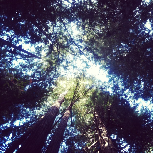 Looking up at the giant Redwood trees